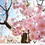 รู้จริงญี่ปุ่น_Tokyo_01 Sakura Spot in Tokyo 01