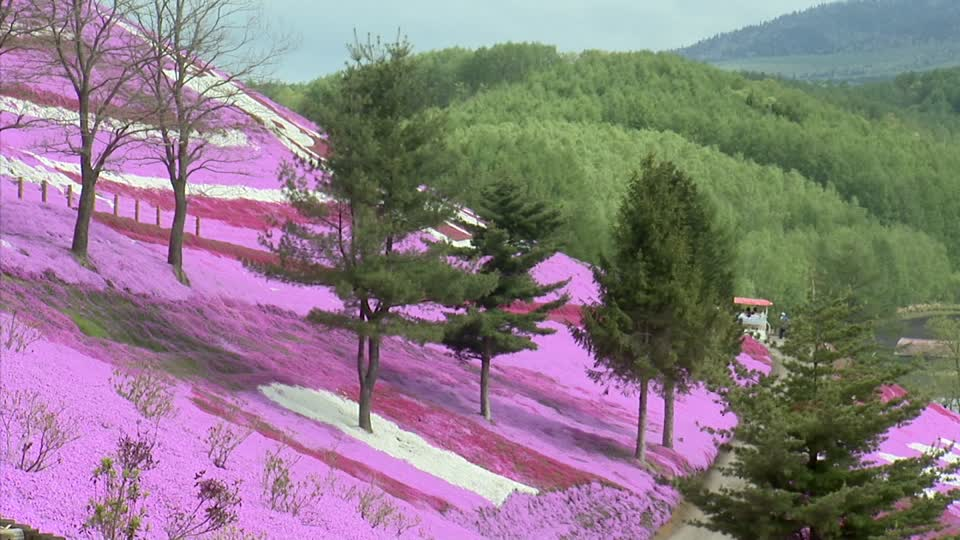 808167296-gunma-prefecture-vibrant-colour-field-of-flowers-mountain-forest